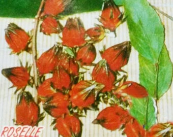 Roselle Gongura 230 Seeds Thai Hibiscus Sabdariffa