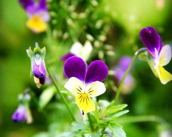 Nature Photography.  Flower & Garden Photography.  Spring and Summer Photography. 8x12 Print