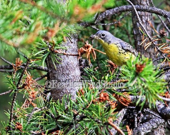 Kirtlands Warbler Female | Bird Photography | Nature | Bird with Insect Food | Endangered Songbird | Michigan Songbird Photo | Warbler Print