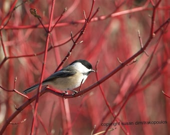 Bird chickadee card, Chickadee on Dogwood photograph, blank card write your own msg, cranberry, red, tan, tree, black, white
