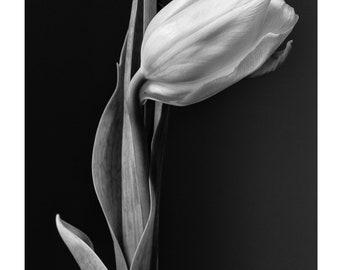 Tulip_Flower, Art, Photography, Black and White, Fine Art