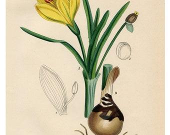 Yellow Crocus Botanical Illustration, Crocus Yellow, Yellow Illustration, Crocus Botanical, Illustration Botanical, Botanical Crocus, Crocus