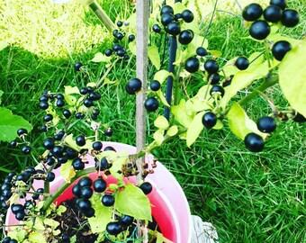 Garden Huckleberry Seeds