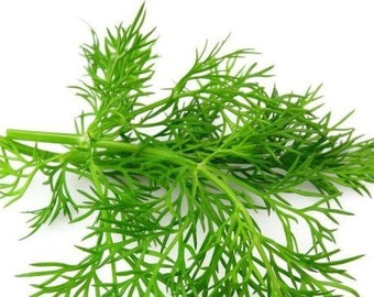 Dill Seeds~100%  organically grown