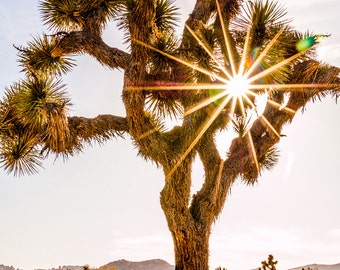 Sun Star Through a Joshua Tree