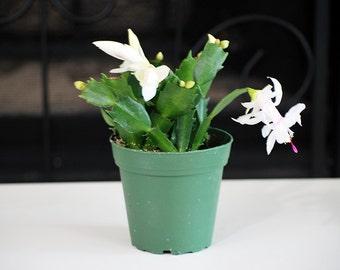White Christmas Cactus - 4'' Pot