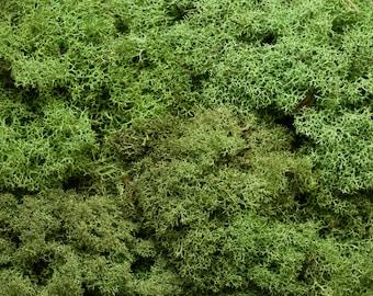 Preserved Reindeer Moss - Cladonia Rangiferina Lichen