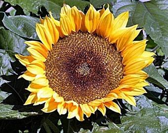 Sunspot Dwarf Sunflower Seeds Non-GMO Naturally Grown Open Pollinated Gardening