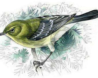 Pine Warbler (female) - bird art, wildlife art - nature print of original artwork