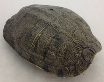 Real Turtle Shell - Female Red Eared Slider - 9 -10 inch Long