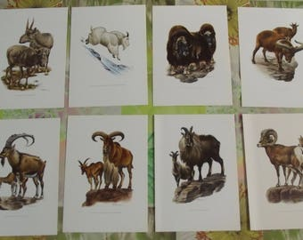8 old boards poster 19 x 27 cm, the mountain goats, sheep of Canada, the Tur Saiga