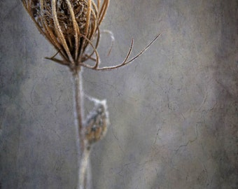 queen annes lace nature photography fine art photography home decor office decor