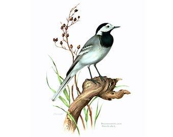 1969 White Wagtail, vintage Bird Print, Ornithology, Natural history, nature wall art