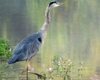Great Blue Heron having a Monet Morning Moment