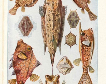 "Digital Download ""Trunk Fish"" Illustration (c.1900s) - Instant Download Printable of Fish Illustrated Book Page"
