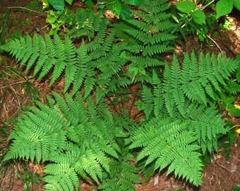 Marginal Wood Fern ..... 200 Spores