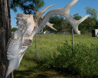 "Deer Antlers 8 points 12"" wide, Stag,Texas wildlife Hunting rustic decor for Hunter retro Texana Texana Lot M-3"
