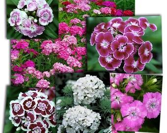 Sweet william  flower seeds,38, poets flowers, gardening, flowers seeds