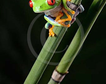 Frog Art - Frog on Leaf - Equisetum - Tree Frog Photo