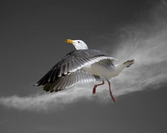 Seagull, Bird, Western Gull, Limited Edition Photography Fine Art Print, Moon Dance with Cirrus Clouds