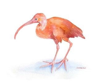 Ibis Watercolor Painting - 10 x 8 - Giclee Print - 11 x 8.5 - Scarlett Ibis