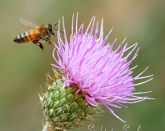 Flying Honey Bee Wall Art, nature photography, nursery wall decor, bee & pink thistle flower photo, fine art print