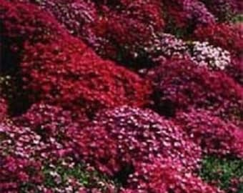 50+ Red Aubrieta Rock Cress / Perennial Flower Seeds