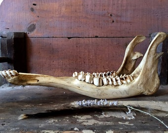 Cow jaw bone  / cattle jaw bone / animal bones / farmhouse decor
