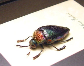Real Framed Rare Sternocera Pulchra Fischeri Male Rainbow Jewel Beetle 8487
