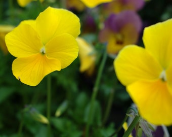 Purple and yellow pansies photography photo print