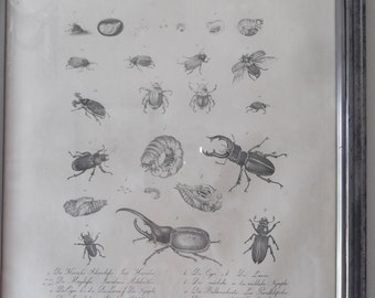 vintage Entomology print, good condition very detailed, Science, insect print,education prints, bugs