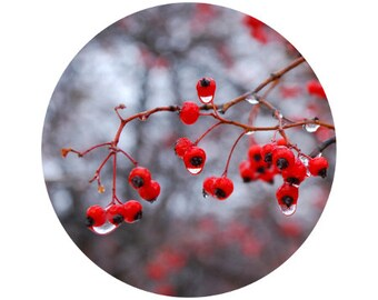 Winter Home Decor, Red Berries Photograph, Winter, Holiday, Christmas Decor, Grey, Black, Circle, Round Image 5x5 inch Print, Winter Berries