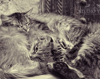 Cat Photo, Animal Photography, Sleeping Kittens, Black and White, Gray, Cute Cats, Cat Lovers, Home Decor, Fine Art Photo, Bundle of Kittens