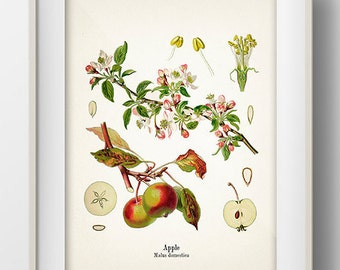 Vintage Apple Print - KO-01 - Fine art print of a vintage natural history antique illustration