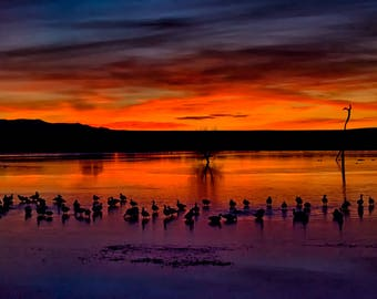 Snow Geese At Sunrise