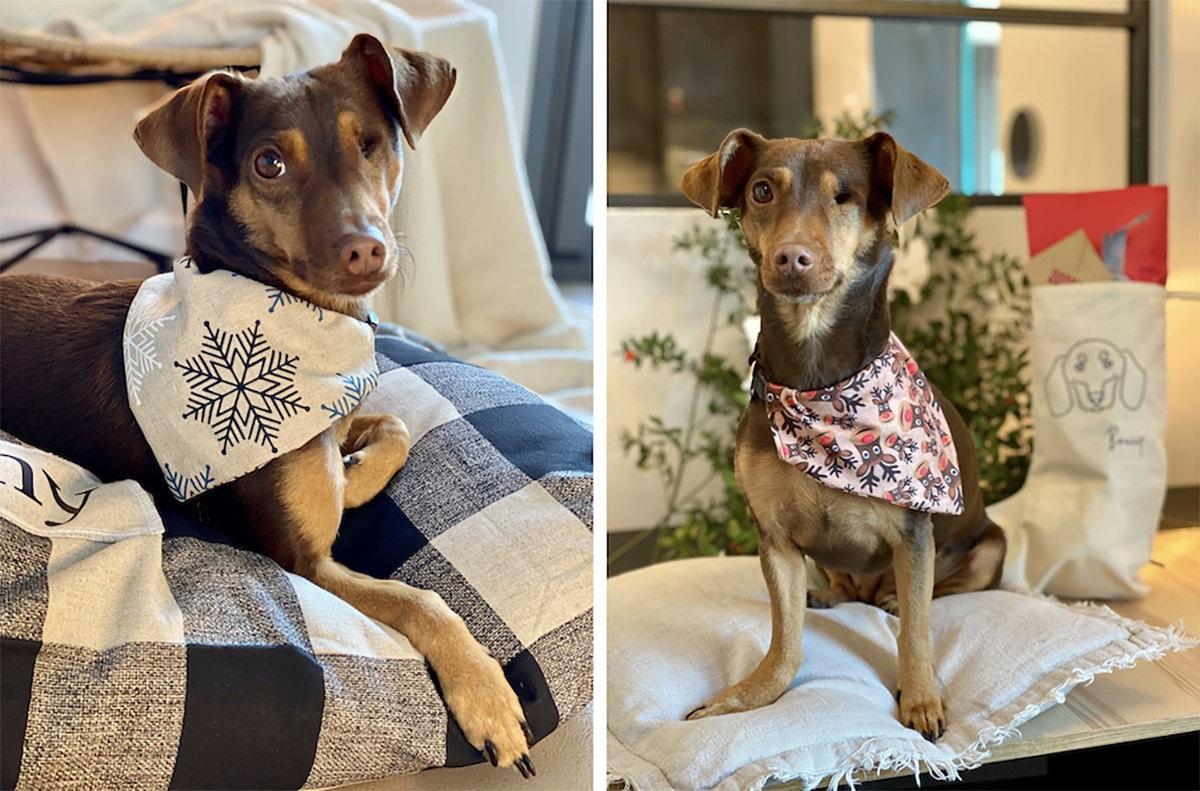 Bonny models two festive doggy bandanas