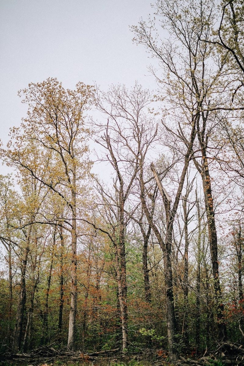Trees in the Ozarks