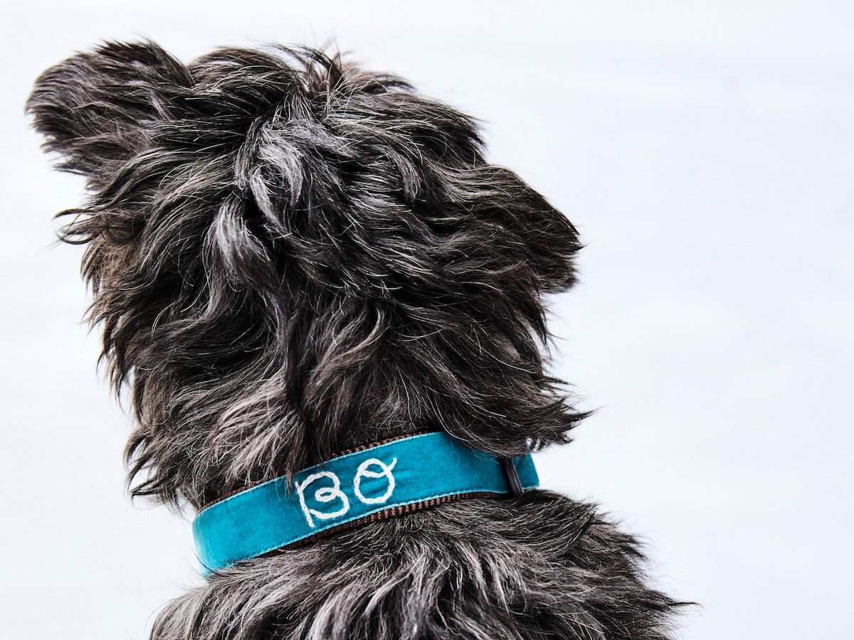 Shaggy black dog wearing a personalized teal velvet collar from Mimi Green