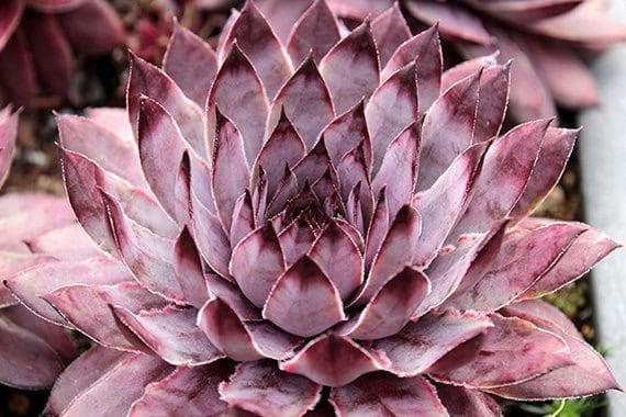 Slate-Sempervivum-Plant-small
