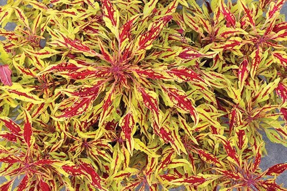 Coleus_Hipsters_Zooey_small