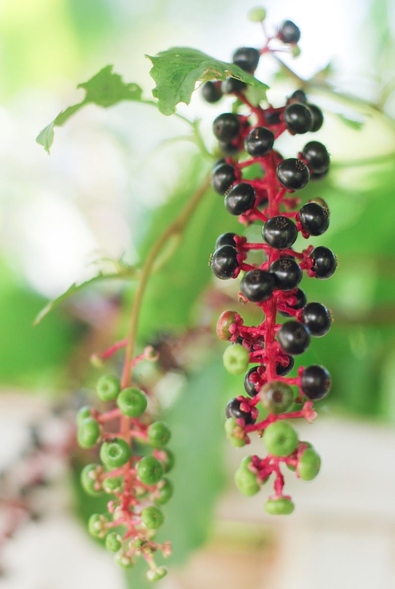 Berries on Kacie's land