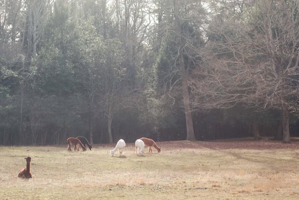 the herd in pasture