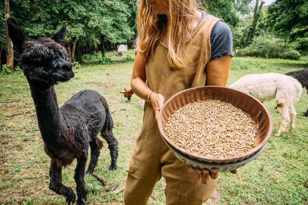 Kacie feeding her alpaca herd
