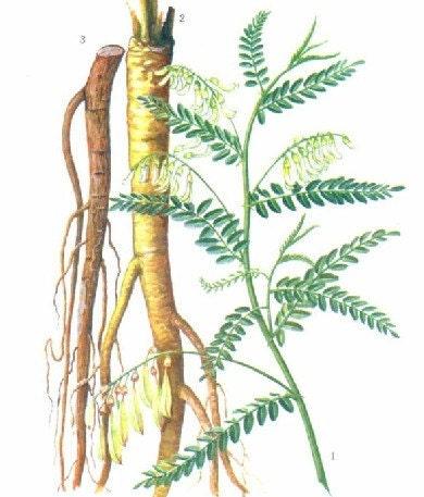 Astragalus Botanical Illustration