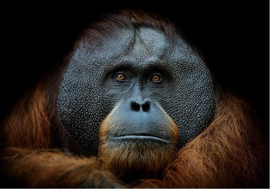 monkey, gorilla, thoughtful monkey, thoughtful chimp