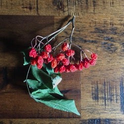 dried rowan berries and leaves
