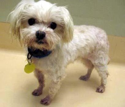 Whirly, Rescue Maltese Dog, Adoption Photo from Animal Shelter