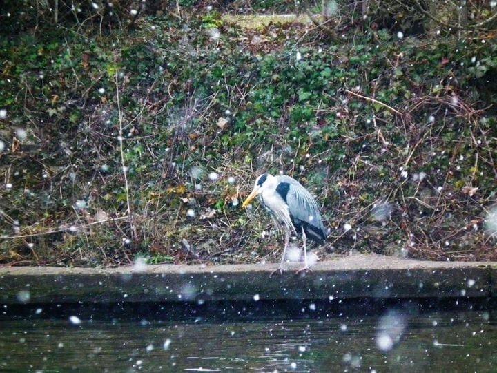 Heron fishing in the snow.