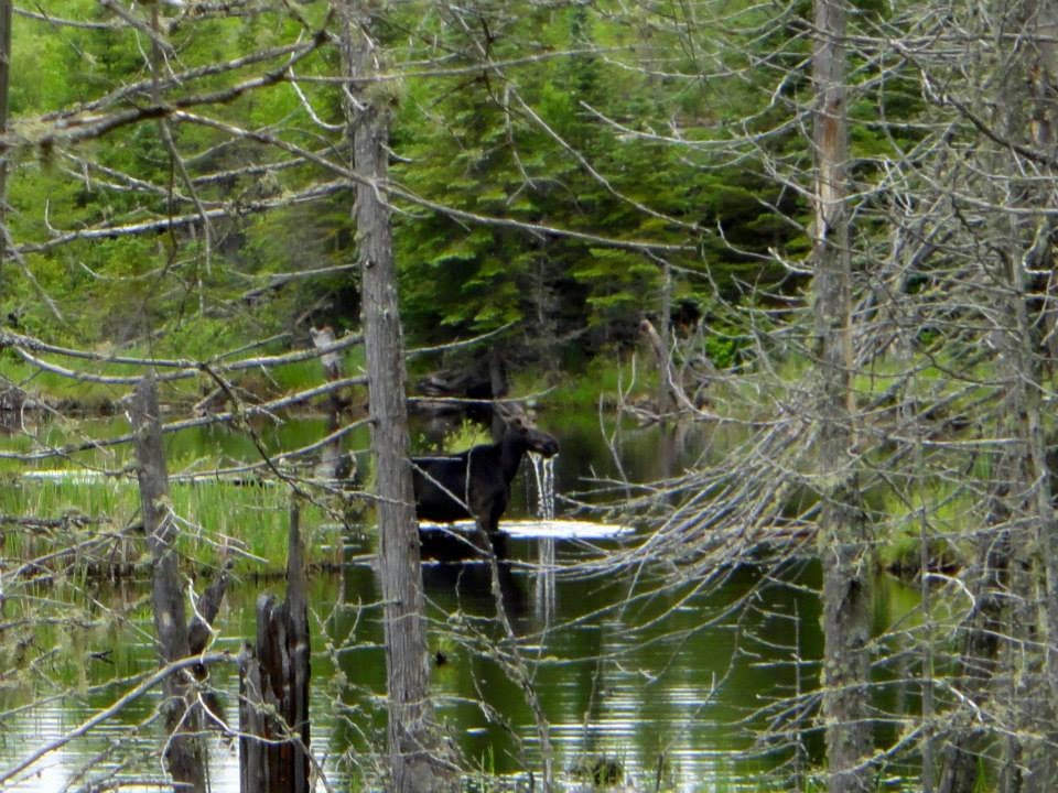 Moose on the Gunflint Trail.