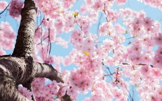 cherry blossoms mmm